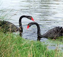 New Swans by Paul Todd
