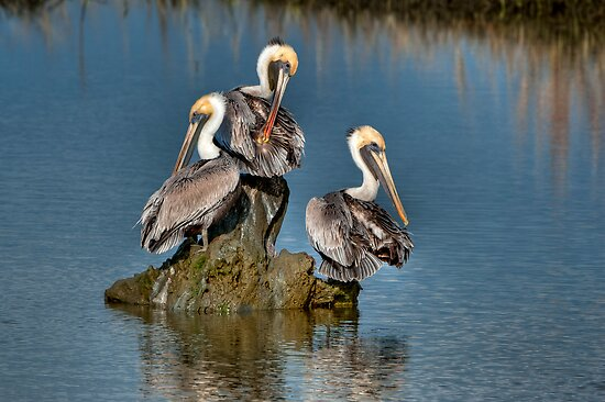 Three Pelicans Preening by Joe Jennelle