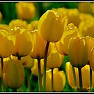 Yellow Tulips by Stephanie Exendine