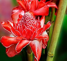 Red Ginger Flower 2 by Margaret Stevens
