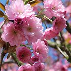 Japanese Cherry Tree Blossoms - Heralds of Spring by karina5