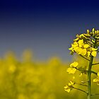 Oilseed in the Haze by Graydon Jones