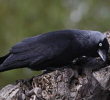 The Jackdaw  by dipperdoo