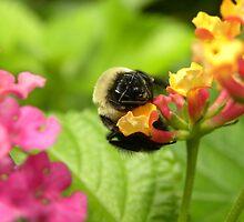 Bumblebee by Amanda Ziegelbauer