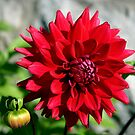 Autumn Dahlia ~ Shades of Red!  by SummerJade