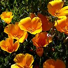 California Poppies - Sacramento County, CA by Rebel Kreklow