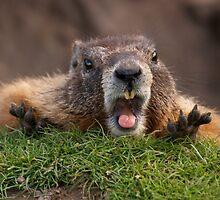 Marmot Surprise by Rodney55