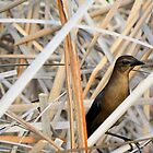 Grackle in Hiding by Rosalie Scanlon