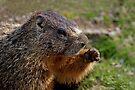 Marmot Knuckles by Rodney55