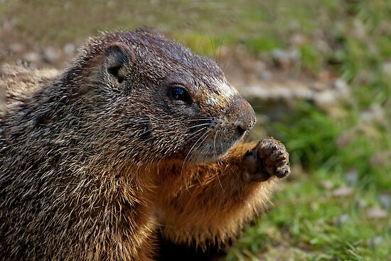 Marmot Knuckles by Rodney55