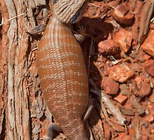 Centralian Blue Tongued Lizard -  Tiliqua multifasciata by Carmel Williams
