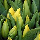 Tulips - Yellow by vbk70