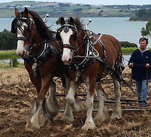 Clydesdales - Churchill Island,  Gippsland by Bev Pascoe