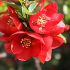 Quince Blossoms by karina5