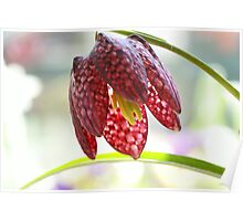 Fritillaria flower Poster
