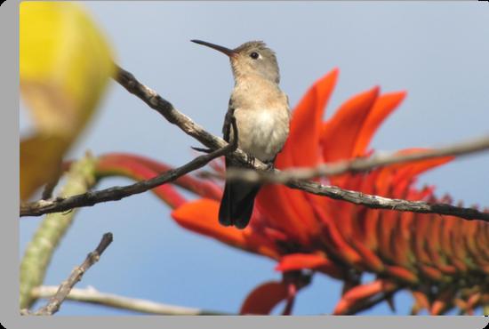 Buffy Hummingbird 1 by hummingbirds