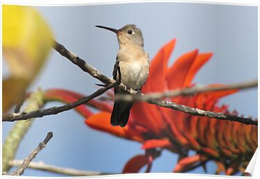 Buffy Hummingbird 1 by hummingbirds