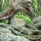 Gnarly Root - Blue Ridge Parkway by Glenn Cecero