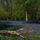 Bluebells at Ashridge by JMChown