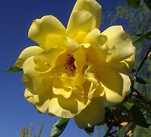 Yellow Rose Brings Sunshine by filipinaaz