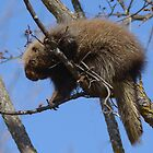 Spring Porcupine by Heather Pickard