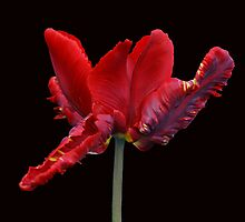 Red Parrot Tulip by Sandy Keeton
