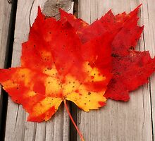 Red Maple Leaves by Megan Noble