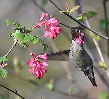 Anna's Hummingbird by Carl Olsen