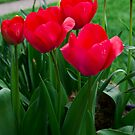 Red Tulips by carlosramos