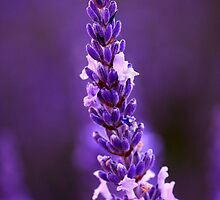 Aloomba Lavender by Kym Howard
