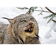 Yeti....Canadian Lynx  Photographic Print