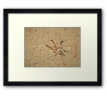Sunspider (Windscorpion, Camel Spider) Framed Print