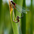 Damselflies by Murray Wills