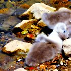 Cygnets On Sackler Lake Kew Gardens by John Hare