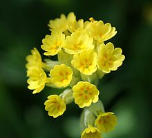 Cowslip by Roger Hall
