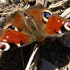 Peacock Butterfly by Tony Worrall