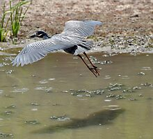 Yellow-crowned Night Heron in flight by venny