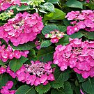 Hot Pink Hydrangea macrophylla by PhotosByHealy