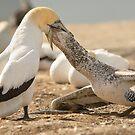 Gannet Feeding by Werner Padarin