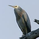 White-Faced Heron by Rick Playle