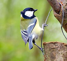 Great Tit by charliefoxtrott