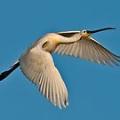 Spoonbill (Platalea leucorodia) by Konstantinos Arvanitopoulos