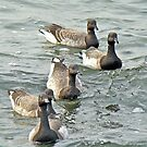 Atlantic Brant Geese - Branta bernicla hrota by MotherNature