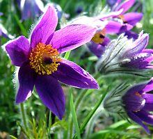 Pasque Flower by kkmarais