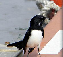 Cheeky Willy Wagtail by MargaretMyers