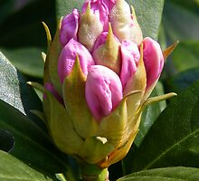 White Rhododendron Bud by LoneAngel
