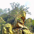 Ficus Thonningii  ~  Strangler Fig  ~  Wurgvy by Pieta Pieterse
