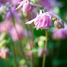 Angelic Aquilegia by DonDavisUK
