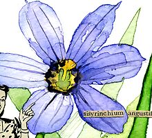 Sisyrinchium angustifolium (Pointed Blue-Eyed Grass) by Carol Kroll