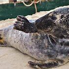 Baby Seal by Nicole Jeffery